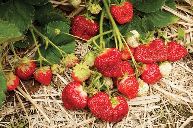 Kết quả hình ảnh cho growing strawberries problem